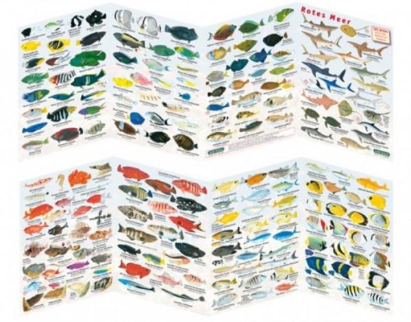 Fischfaltblatt Rotes Meer Fischbestimmungskarte